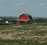 Jungle farm strawberry patch north of Innisfail,AB