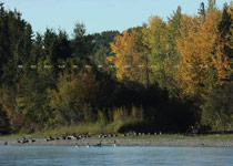 Canada Geese along the Red Deer River - Oct.1, 2009