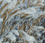 Frosted wheat -  Nov.29, 2009