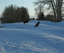 Snow dogs posing on snowdrifts west of Red Deer,AB - Dec. 6, 2009