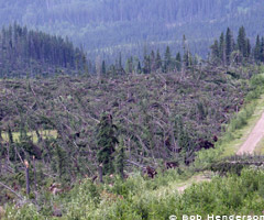 ©Bob Henderson - Large area of tree damage in the south James River area, Alberta - August 7, 2010