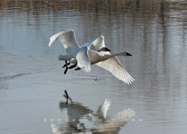 Tundra swans - Nov.7, 2010