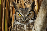 Great Horned Owl warms in the early monring sun - Oct.10, 2011