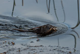 Busy Muskrat with a mouthful of building supplies - Oct.10, 2011