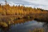 Golden Tamaracks - Oct.10, 2011