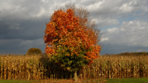Maple tree changing color near London, Ontario - October 16, 2011