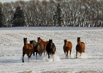 Horses enjoying a mild December afternoon west of Innisfail, AB - Dec.9, 2011