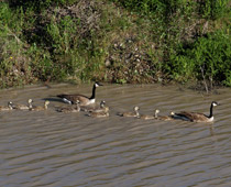 Canada goose family navigates the muddy waters of the Red Deer river - June 7, 2012