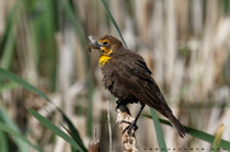 Female Yellow headed blackbird with a mouthful of dinner - June 14, 2012