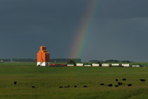 Rainbow, grain elevator, train and cows southwest of Olds , AB - July 1, 2012
